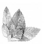 cropped-medovka-kresba-plnsia-1.jpg